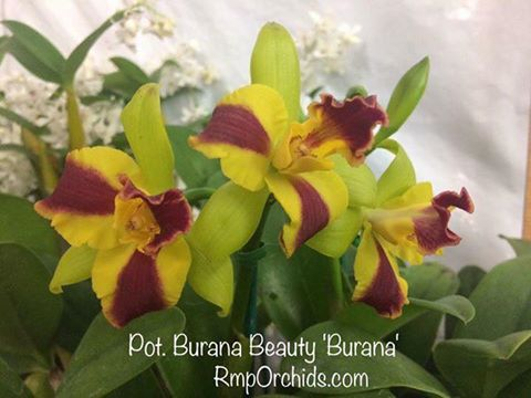 Pot. Burana Beauty 'Burana'