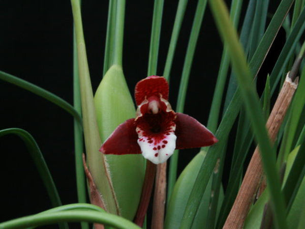 Max Maui Coconut 'Exotic Orchids'