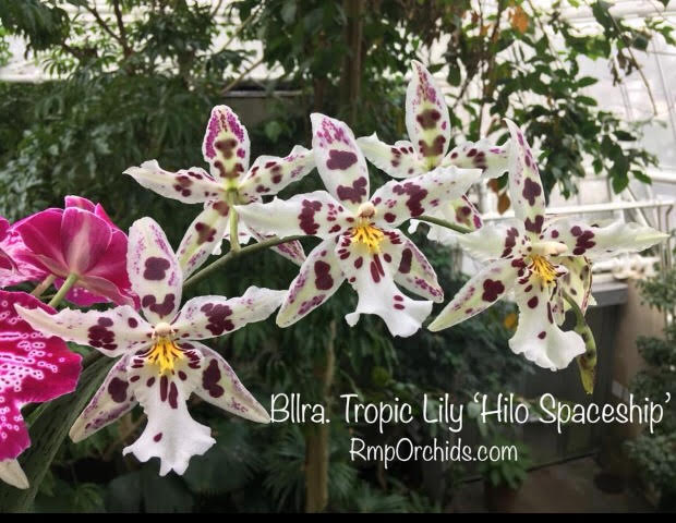 Bllra. Tropic Lilly 'Hilo Spaceship'