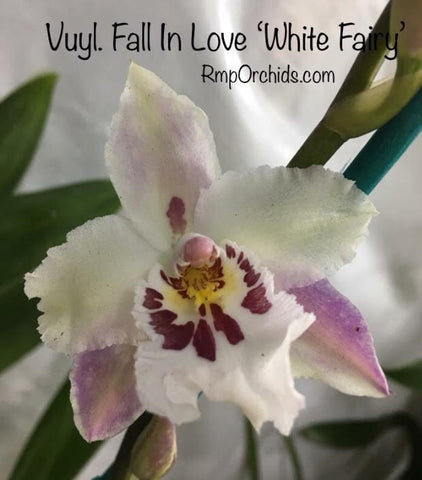 Vuyl. Fall in Love 'White Fairy' (Post Bloom Clearance)