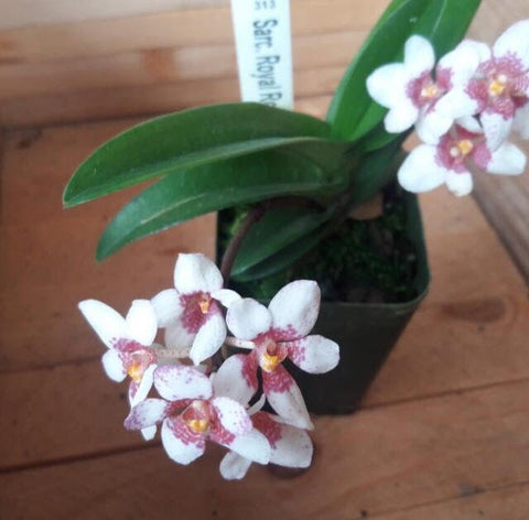 Sarcochilus Royal Red x Camira ' 50 Cents'