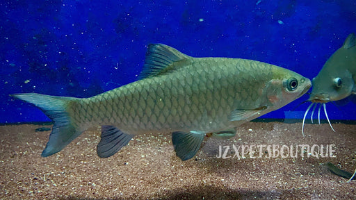 * Other Species * Phoenix Barb