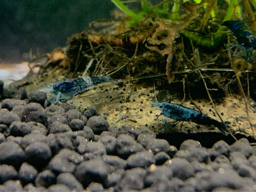 * Shrimps * Blue Rili Shrimps