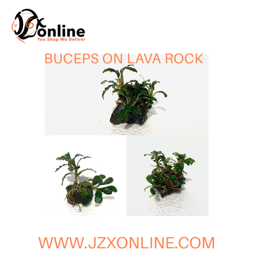 *Plants* Buceps on lava rock (per piece)
