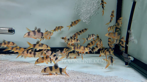 * Other Species * Special Markings Clown Loaches 4-5cm