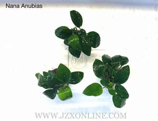 * Plants* Anubias Nana on lava rock(per piece)