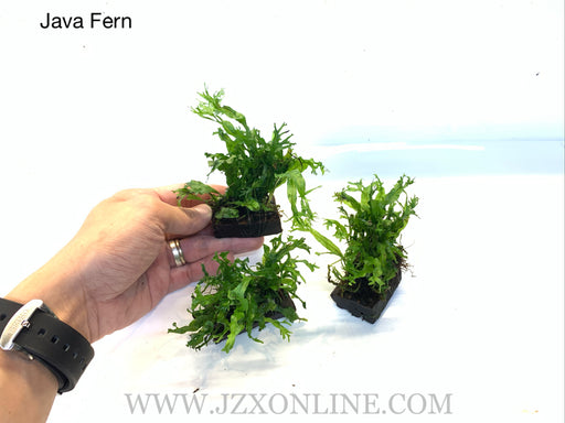 *Plants* Java Fern Windelov Twisted on wood (per piece)