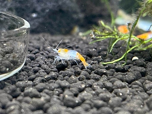 * Shrimps * Orange Rili Shrimps