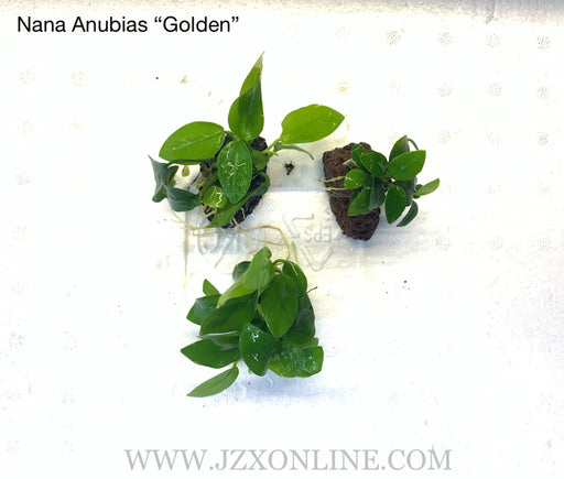 "* Plants* Anubias Nana ""Golden"" on lava rock(per piece)"