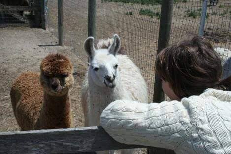 Check out the Alpacas!