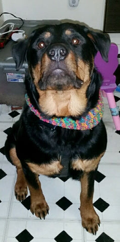 Large dog wearing a multicolored knit collar