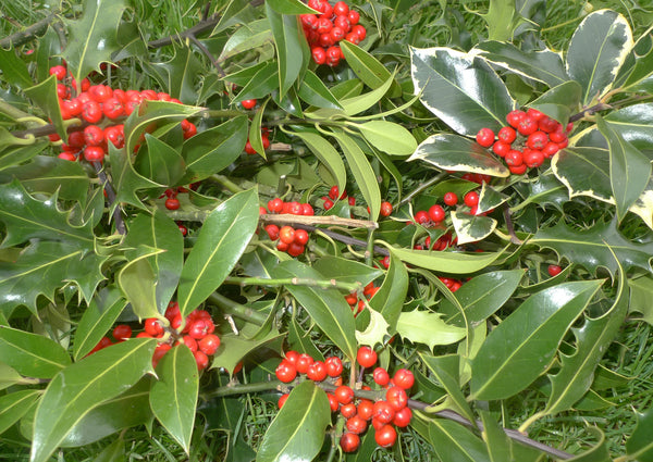 Wholesale Berried Holly