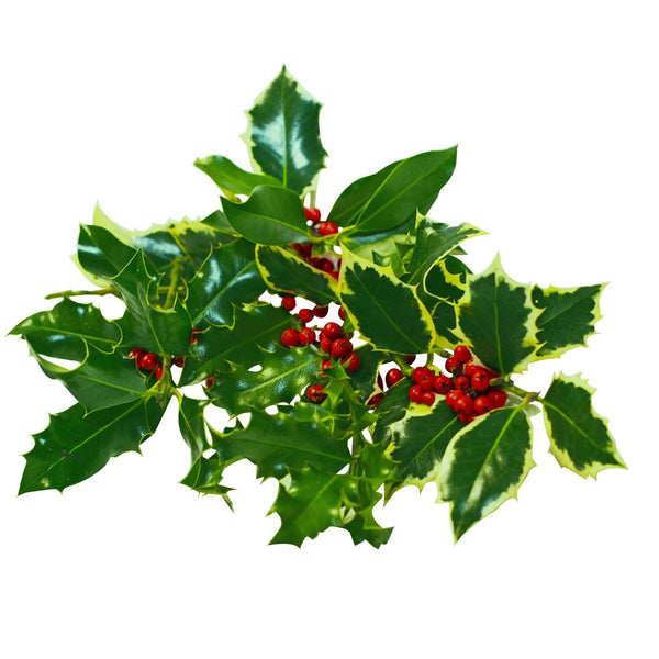 Cut Berried Holly Pieces