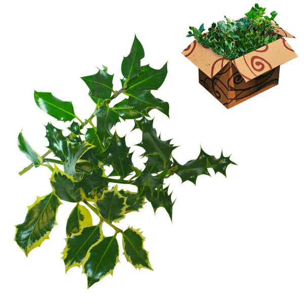 Wholesale Unberried Holly