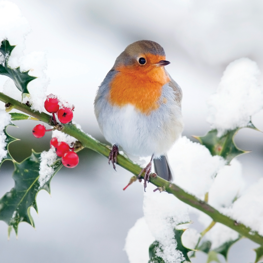 Winter Robin Christmas Cards (10 Pack) – Bone Cancer Research Trust