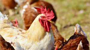 Praising PittMoss® Roost™ Poultry Bedding at Mountainside Organics