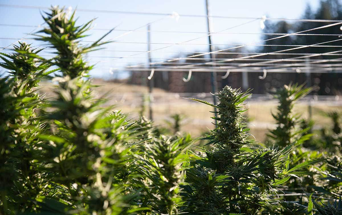 In the Field: Cannabis Trials with PittMoss