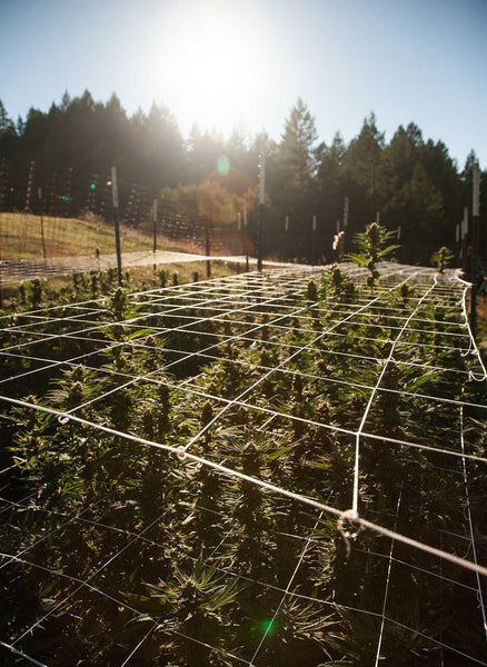 "The cannabis plants reached an average of 60"". Marshall needed to install a second layer of wire to support them."