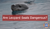 Leopard Seals - The Oceans Solo Predator