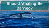 Should Whaling Be Banned Worldwide?