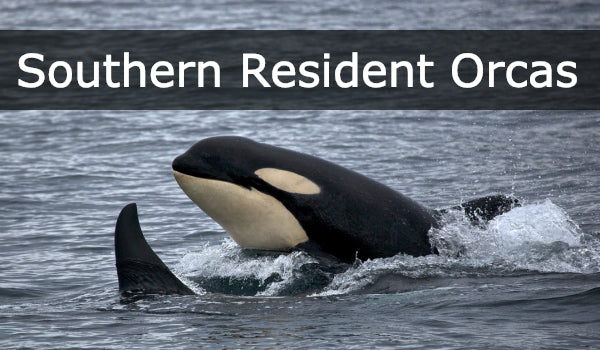 Southern Resident Orcas - Save Them Before They Are Gone