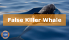 Endangered: False Killer Whale
