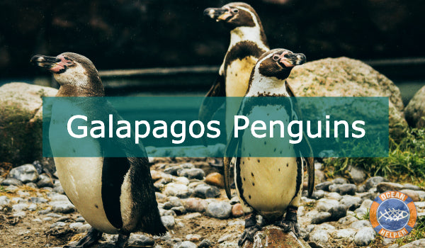 The Galapagos Penguin
