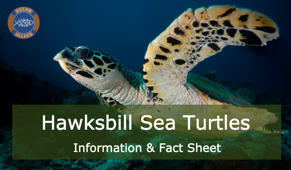 Hawksbill Sea Turtle - Sea Turtle Info Sheets #2