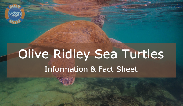 Olive Ridley Sea Turtle - Sea Turtle Info Sheets #5