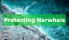 Narwhal Conservation Efforts