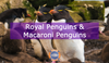 Royal Penguins & Macaroni Penguins