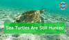 Sea Turtles - Hunted & Harvested