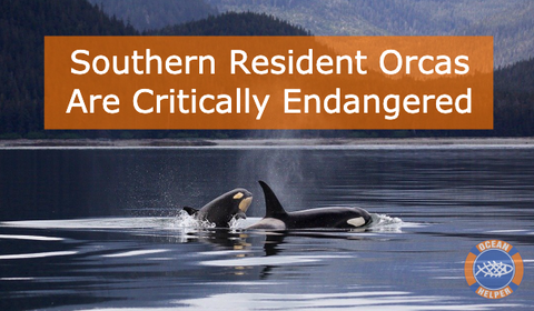 Southern Resident Orcas Blog
