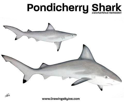 Pondicherry Shark - Joe Richichi