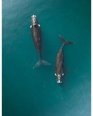 Image of Right Whales by matixarenas on Instagram