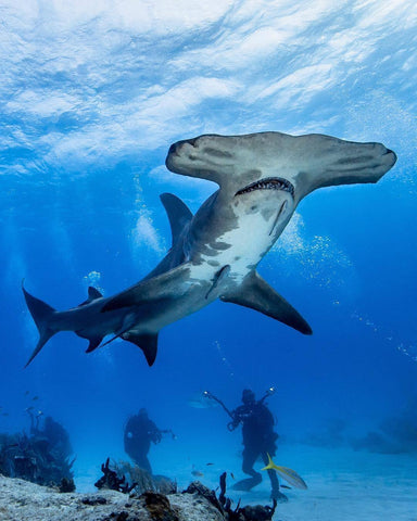 Great Hammerhead Shark - Carlos Grill