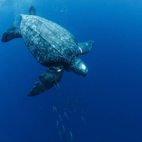 Leatherback Turtle by stevewright_photography