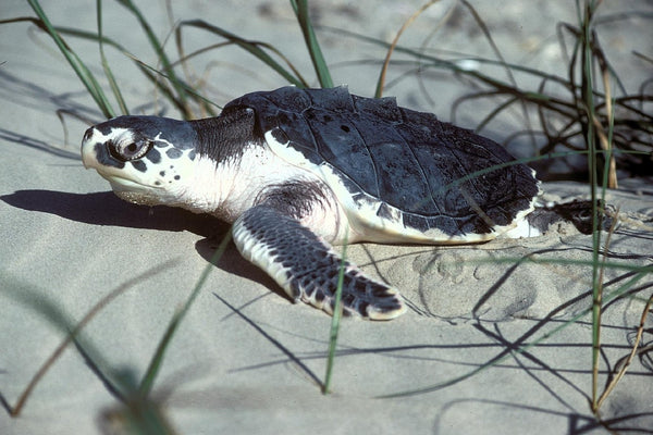 Kemps Ridley Sea Turtle Hatchling
