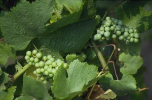 Grapes from Franciacorta - North Italy