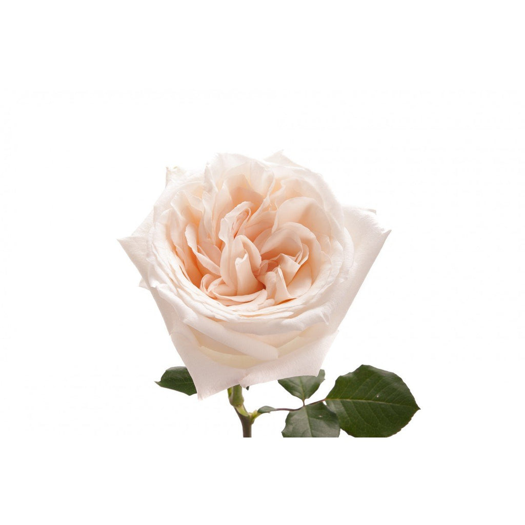Superior Garden Rose   Blush Ou0027hara Images