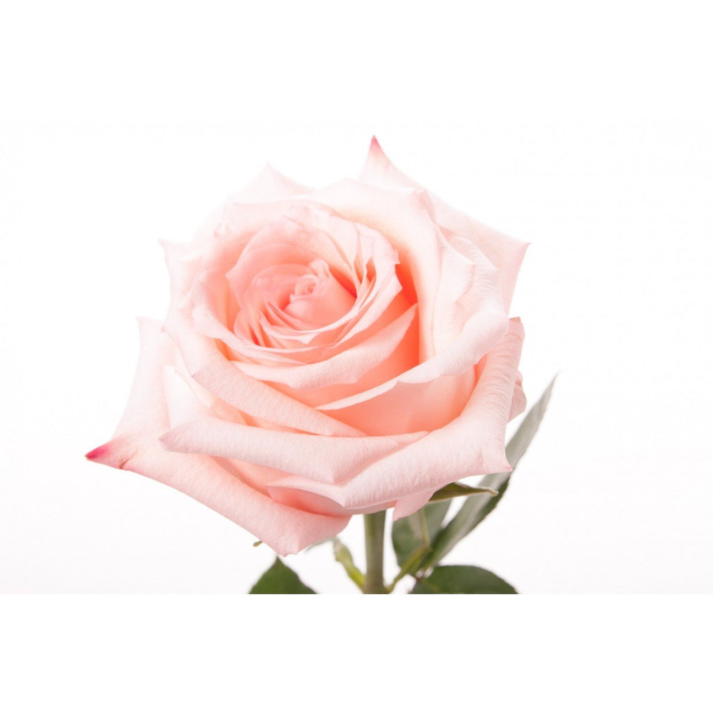 Engagement - Light Pink Roses