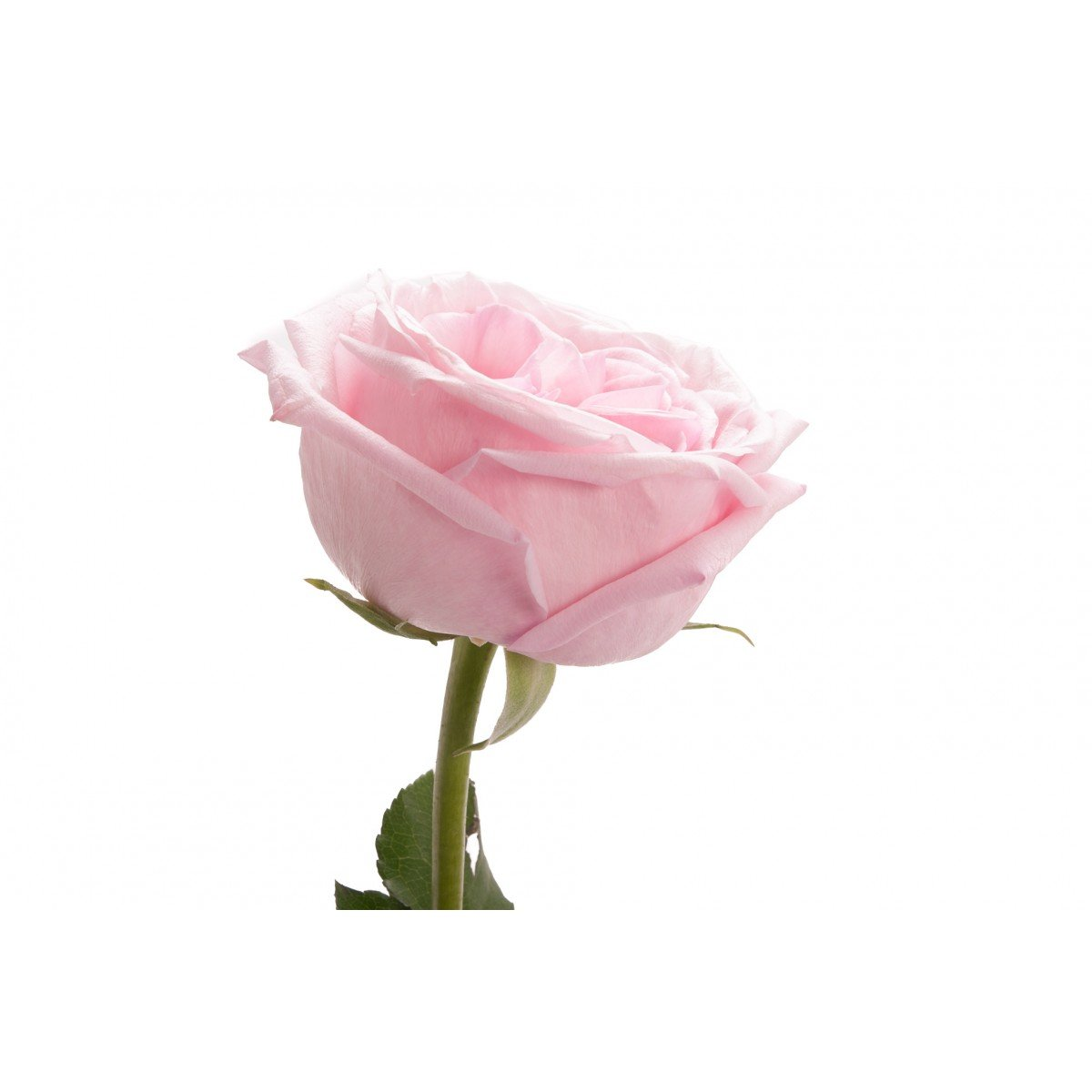 Garden Rose - Light Pink