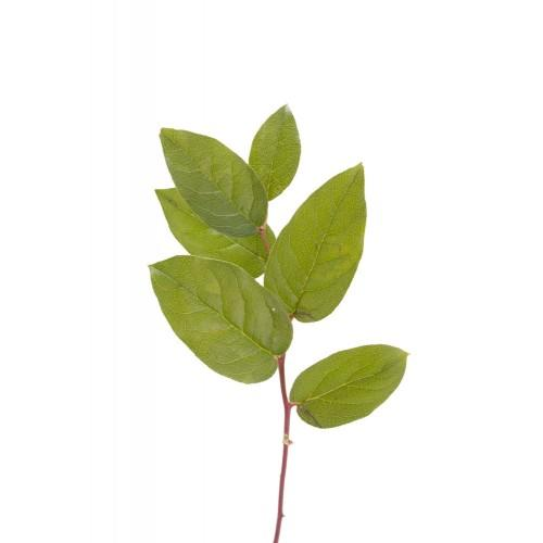 Salal - Lemon Leaf