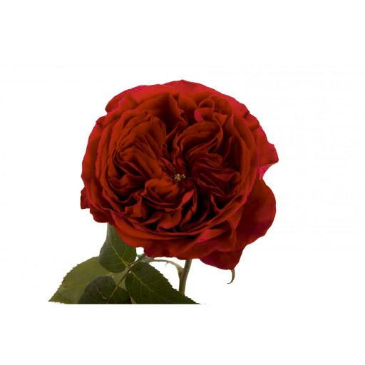 Garden Rose - Deep Red