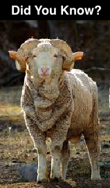 All about merino sheep and their premier yarn!