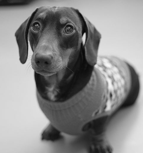 Stanley the sausage dog