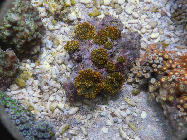 Beginners Guide to Soft Coral