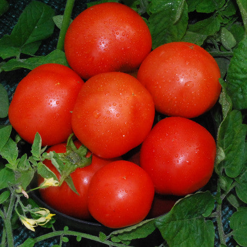 Field Tomatoes (pint)