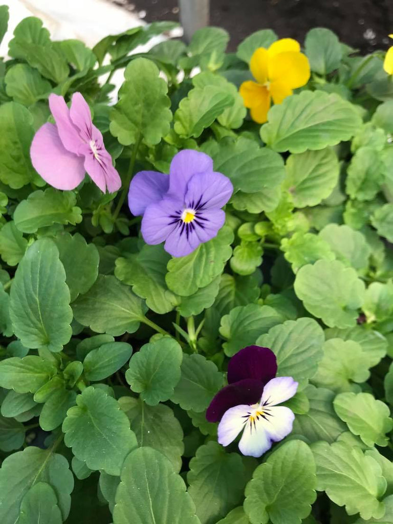 Just Farm Pansies