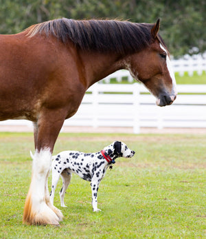 Clydesdale + Dalmatian Bundle (2 for $20)
